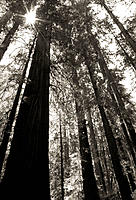 Coast Redwoods. Armstrong Redwoods State Reserve. California. USA