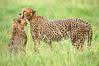 Cheetahs (Acinonyx jubatus). Serengeti National Park. Tanzania