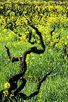 Vines and mustard. Sonoma county. California. USA
