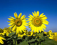 Spain. Andalucia. Sunflowers.