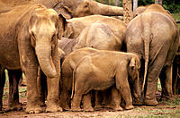 Indian Elephants (Elephas maximus). Sri Lanka