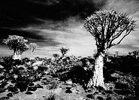 Quiver Trees (Aloe dichotoma). Namibia