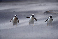 Gentoo Penguins (Pygoscelis papua) in a sandstorm. Falkland Islands.