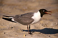 Laughing Gull (Larus atricilla) calling. Assateague Island. Maryland. USA