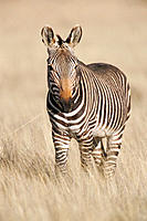 Cape Mountain Zebra (Equus zebra zebra). Mountain Zebra National Park. South Africa