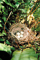 Bird´s eggs in nest