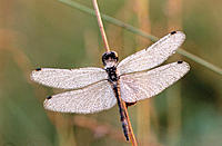 Black Darter Dragonfly (Sympetrum danae). Germany