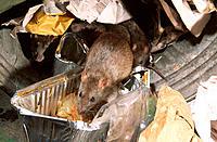 Brown Rats (Rattus norvegicus) amongst garbage