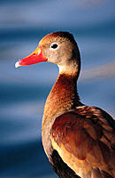 Black-bellied Whistling Duck (Dendrocygna autumnalis)