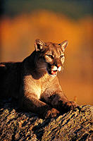 Mountain Lion (Felis concolor). Northern Montana. USA