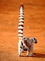 Ring-tailed lemur and baby (Lemur catta). Madagascar.
