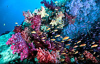 Soft Corals and Anthias Fish. Fiji Islands