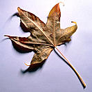 Fall leaf