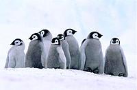 Emperor Penguin chicks (Aptenodytes forsteri). Atka Bay. Antarctica