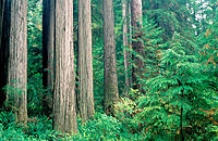 Redwoods (Sequoia sempervirens). Jedediah Smith Redwoods State Park. CA. USA
