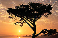 Monterey Pine. Monterey Bay. California. USA