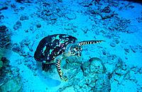Hawksbill Turtle (Eretmochelys imbricata). Similan Islands. Thailand