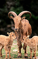 Aoudad (Ammotragus lervia) and lambs. Fossil Rim Wildlife Center. Glen Rose. Texas. USA