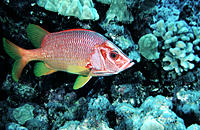 Saber Squirrelfish (Sargocentron spiniferum). Hawaii. USA