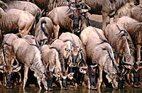 Blue Wildebeests (Connochaetes taurinus). Serengeti. Tanzania