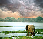 Lone elephant walking into water. Mana Pools National Park. Zimbabwe