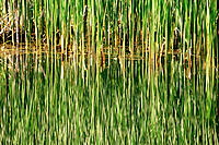Cat's tail reeds in pond water