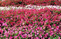 Petunias (Petunia multiflora)