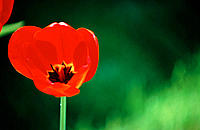 Red tulip with backlit petals, black-and-yellow center showing against light-and-dark green background, Bloomington, Indiana