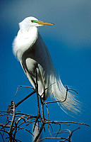 Great White Egret (Casmerodius albus). Louisiana. USA
