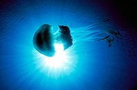 Barrel Jellyfish (Rizhostoma pulmo)