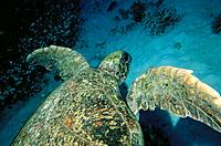 Green Sea Turtle (Chelonia mydas). Great Barrier Reef. Australia