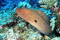 Giant Moray (Gymnothorax javanicus). Great Barrier Reef. Australia
