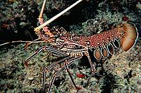 Rock Lobster (Palinurus versicolor). Great Barrier Reef. Australia