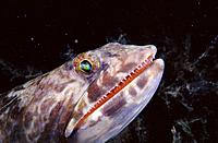 Sand Diver Lizardfish (Synodus intermedius). Caribbean