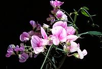 Broad-leaved Everlasting Pea (Lathyrus latifolius)