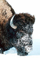 Bison (Bison bison) foraging in snow. Yellowstone National Park. Wyoming. USA