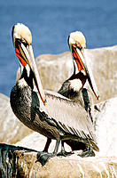 Brown Pelicans (Pelecanus occidentalis) in mating plummage