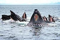 Humpback whales, completing lunge for herring