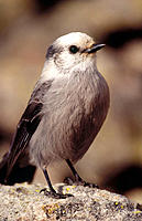 Gray Jay (Perisoreus canadensis). Colorado. USA