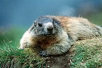 Marmot (Marmota marmota). Austria