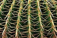 Golden Barrel cactus (Echinocactus grusoni), detail. Texas. USA