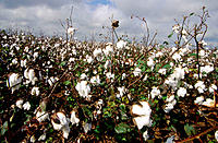 Cotton plantation. Louisiana. Usa