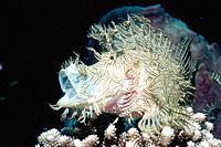 Merlet´s Scorpionfish (Rhinopias aphanes). Papua New Guinea
