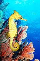 Thorny Seahorse (Hippocampus histrix). Great Barrier Reef. Australia