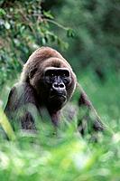 Lowland Gorilla (Gorilla gorilla gorilla)