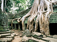 Ta Prohm temple, complex of Angkor Wat. Angkor. Cambodia