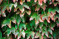 Virginia Creeper (Parthenocissus tricuspidata)