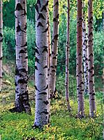 Birch trees (Betula sp.). Västerbotten. Sweden