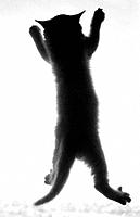 Kitten (American shorthair) climbing door-screen