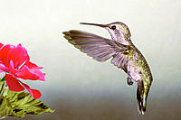 Anna's Hummingbird (Calypte anna), early